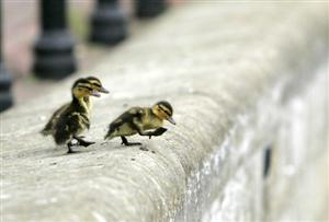 Ducklings Journey To River
