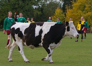Cow on football pitch